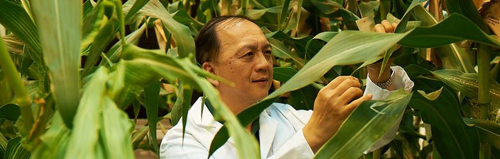 Scientist Studies Corn Plant